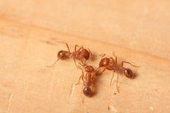 Hormigas de fuego rojo Imagen de archivo libre de regalías