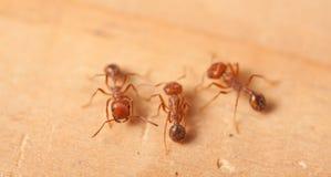 Hormigas de fuego rojo Imágenes de archivo libres de regalías