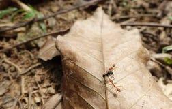 Hormigas de fuego y presa foto de archivo