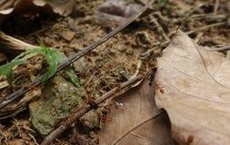 Hormigas de fuego y presa fotografía de archivo libre de regalías