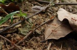 Hormigas de fuego y presa fotos de archivo
