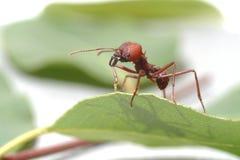 Hormigas de la hormiga que caminan en la hoja verde Foto de archivo