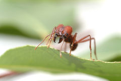 Hormigas de la hormiga que caminan en la hoja verde Fotos de archivo libres de regalías