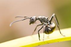 Hormigas de la montaña Foto de archivo libre de regalías