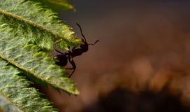 Hormigas de la silueta Foto de archivo libre de regalías
