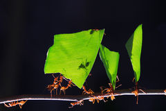 Hormigas de los trabajadores. Imágenes de archivo libres de regalías