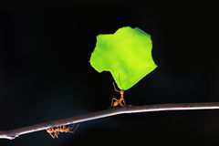 Hormigas de los trabajadores. Fotos de archivo libres de regalías