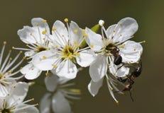 Hormigas de madera en la flor del endrino Imagen de archivo