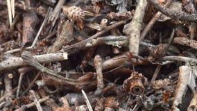 Hormigas de madera rojas que mueven encendido el hormiguero de la jerarquía con las hormigas de madera rojas en cierre de la prim almacen de video