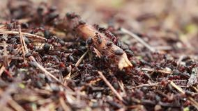 Hormigas de madera rojas, rufa de formica, soldados que defienden su jerarquía en un bosque del pino en Escocia durante un día so almacen de video