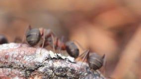 Hormigas de madera rojas, rufa de formica, soldados que defienden su jerarquía en un bosque del pino en Escocia durante un día so metrajes