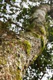 Hormigas del cortador de la hoja Foto de archivo
