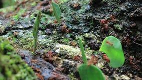 Hormigas del cortador de la hoja en el trabajo y caminar con las hojas sobre una rama grande metrajes