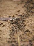 Hormigas del Matabele que cazan termitas Foto de archivo