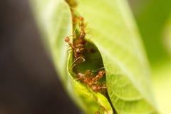 Hormigas del tejedor en hojas verdes Imagenes de archivo