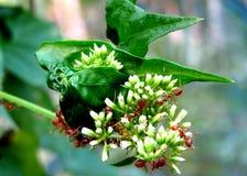 Hormigas del tejedor en las flores fotos de archivo
