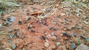 Hormigas del trabajo en el trabajo Imagen de archivo