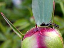 Hormigas en el brote de la peonía Fotos de archivo libres de regalías