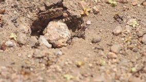 Hormigas en el trabajo visto en macro almacen de video