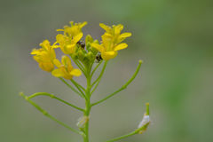Hormigas en flores amarillas fotografía de archivo libre de regalías