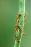 Hormigas en haba Foto de archivo libre de regalías
