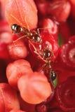 Hormigas en la flor Foto de archivo libre de regalías