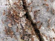 Hormigas en roca Fotos de archivo