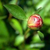 Hormigas en un brote de flor de la peonía Fotografía de archivo