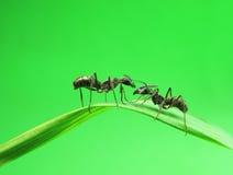Hormigas en una hierba verde Imágenes de archivo libres de regalías