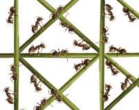 Hormigas en una hierba verde. Imágenes de archivo libres de regalías