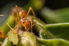 Hormigas en una hoja Imágenes de archivo libres de regalías