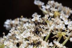 Hormigas en una planta con las flores blancas y los descensos del agua Imágenes de archivo libres de regalías