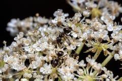 Hormigas en una planta con las pequeñas flores blancas Imagen de archivo
