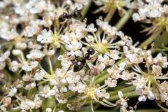 Hormigas en una planta con las pequeñas flores blancas en rocío Imágenes de archivo libres de regalías