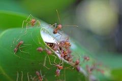 Hormigas enojadas Fotografía de archivo