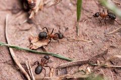 Hormigas europeas rojas del bosque (rufa del Formica) Imagenes de archivo