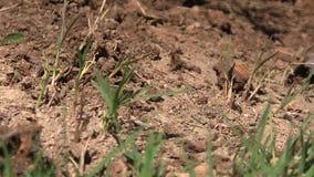 Hormigas frenéticas que se arrastran a través de un montón de la suciedad metrajes