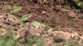 Hormigas frenéticas que se arrastran a través de un montón de la suciedad con los pájaros que gojean en el fondo metrajes