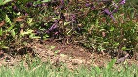 Hormigas frenéticas que se arrastran a través de un montón de la suciedad con los pájaros que gojean en el fondo almacen de video