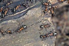 Hormigas grandes Imagen de archivo libre de regalías