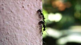 Hormigas macras que mueven encendido la pared y el fondo borrosos metrajes