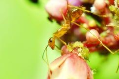 Hormigas marrones transparentes con 2 antenas en la cabeza fotografía de archivo libre de regalías