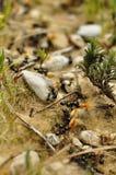 Hormigas negras Fotos de archivo