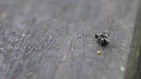 Hormigas negras de la cámara lenta dos macros que tienen una batalla seria cara a cara almacen de metraje de vídeo