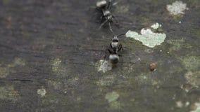 Hormigas negras de la cámara lenta dos macros que tienen una batalla seria cara a cara almacen de video