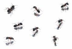 Hormigas negras en diversa posición Imagenes de archivo