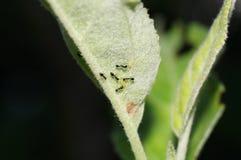 Hormigas negras en la hoja Imagen de archivo libre de regalías