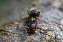 Hormigas negras en la madera Fotos de archivo