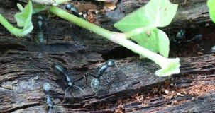 Hormigas negras en un tronco de árbol