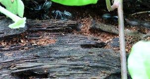 Hormigas negras en un tronco de ?rbol